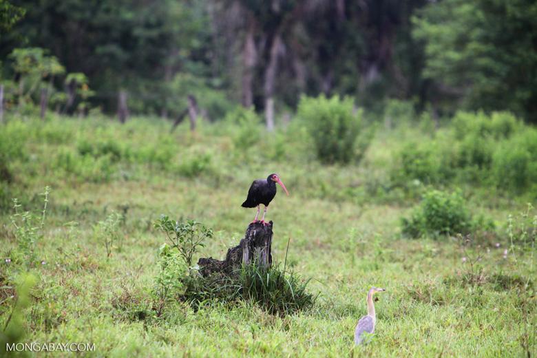 Sharp-tailed Ibis (Cercibis oxycerca) [colombia_4794]