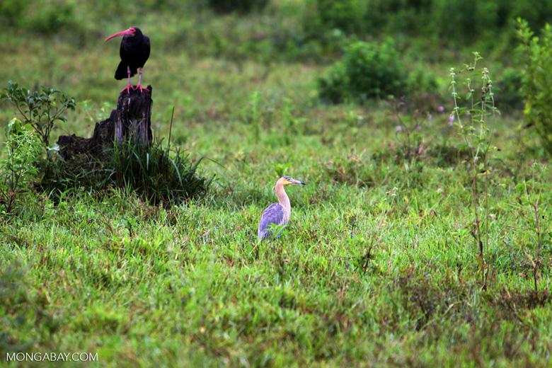 Heron [colombia_4805]