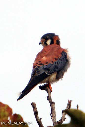 American Kestrel (Falco sparverius) [colombia_4845]