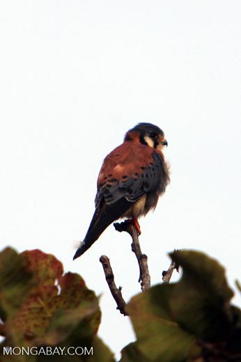 American Kestrel (Falco sparverius) [colombia_4851]