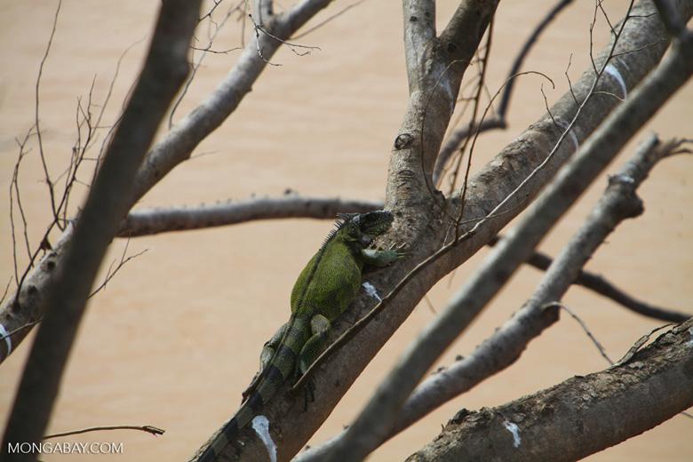 Common green iguana [colombia_5012]