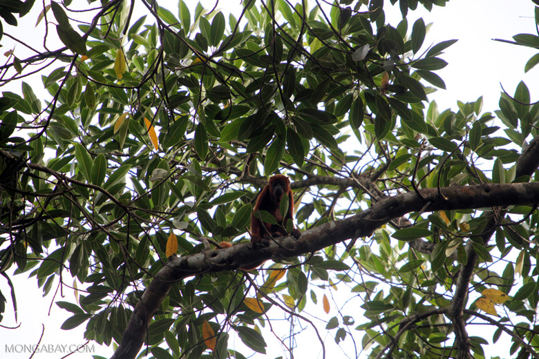 Red howler monkey [colombia_5013]