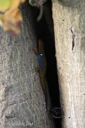 Orange, blue, and yellow lizard [colombia_5030]