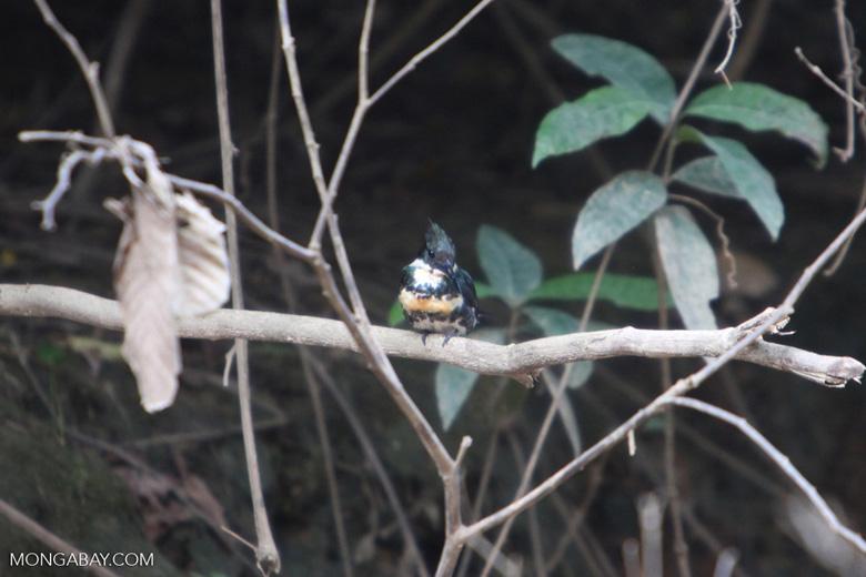 Green Kingfisher (Chloroceryle americana) [colombia_5035]