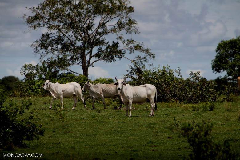 Cattle [colombia_5046]