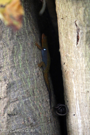Orange, blue, and yellow lizard