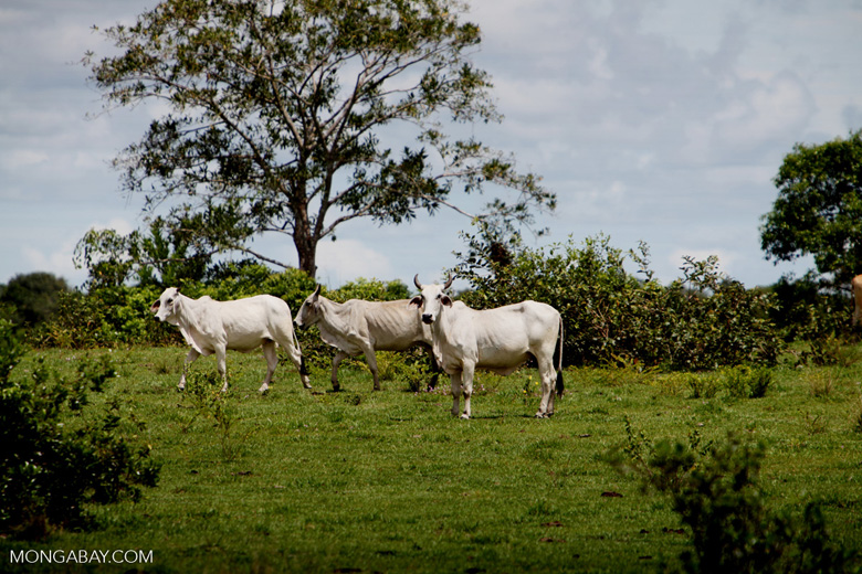 Cattle [colombia_5072]