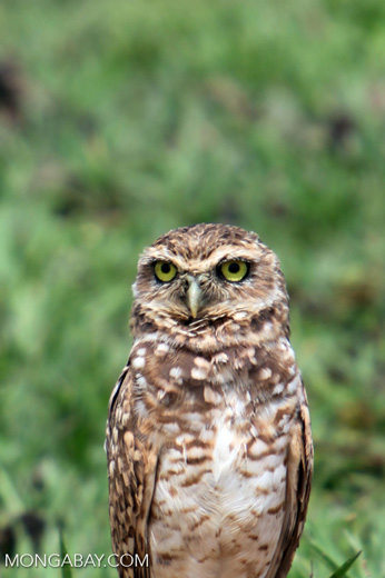Burrowing Owl (Athene cunicularia) [colombia_5076]