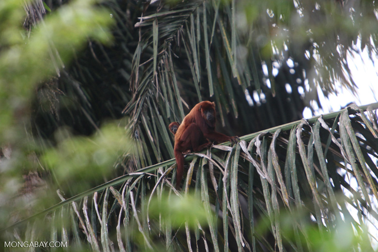 Red howler monkey [colombia_5114]