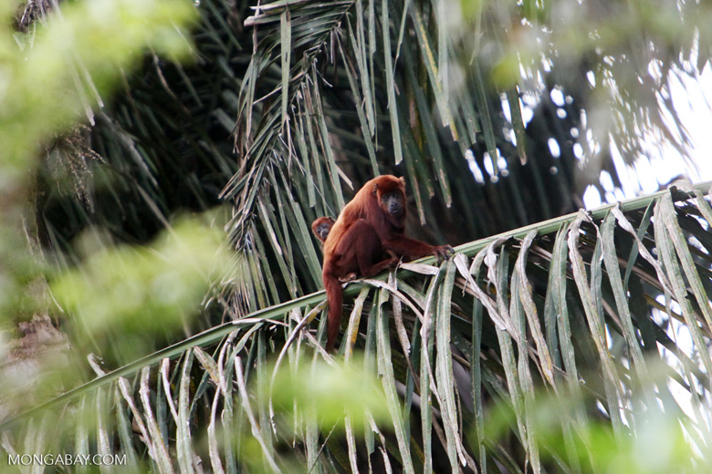 Red howler monkey [colombia_5115]