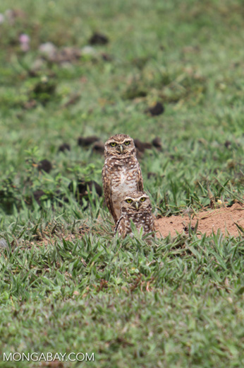 Burrowing Owl (Athene cunicularia) [colombia_5116]