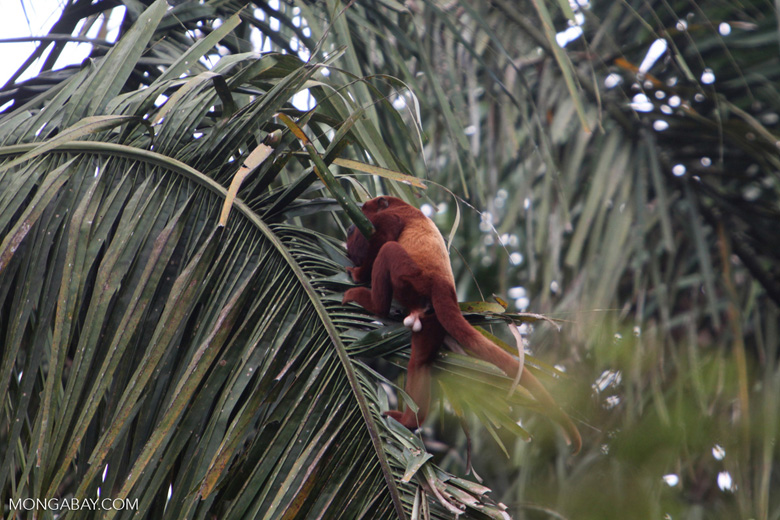 Red howler monkey [colombia_5122]