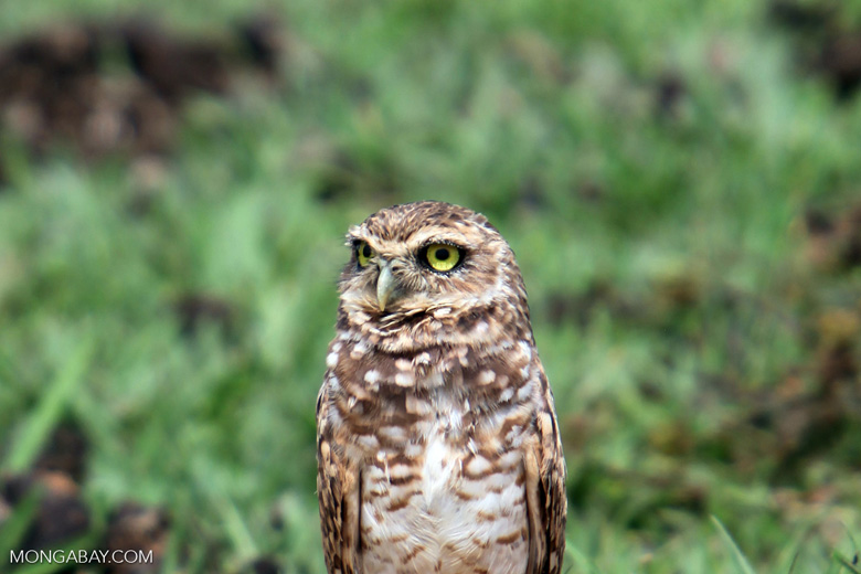 Burrowing Owl (Athene cunicularia) [colombia_5127]