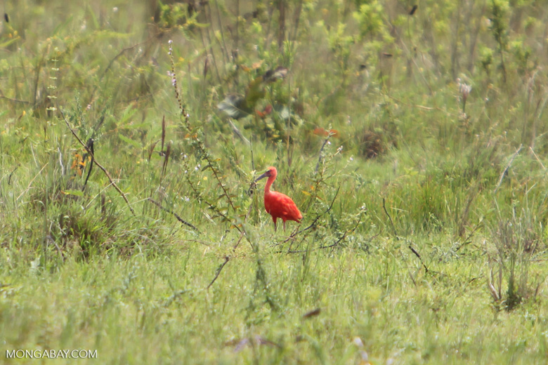 Scarlet ibis [colombia_5135]