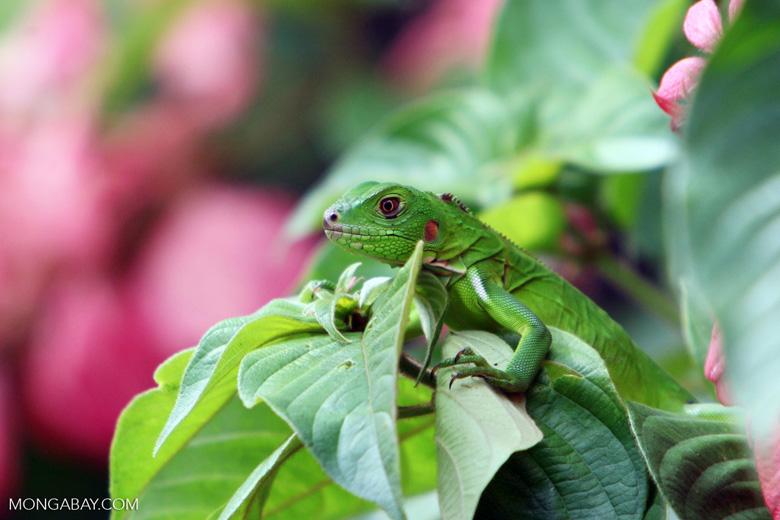 Common green iguana [colombia_5158]