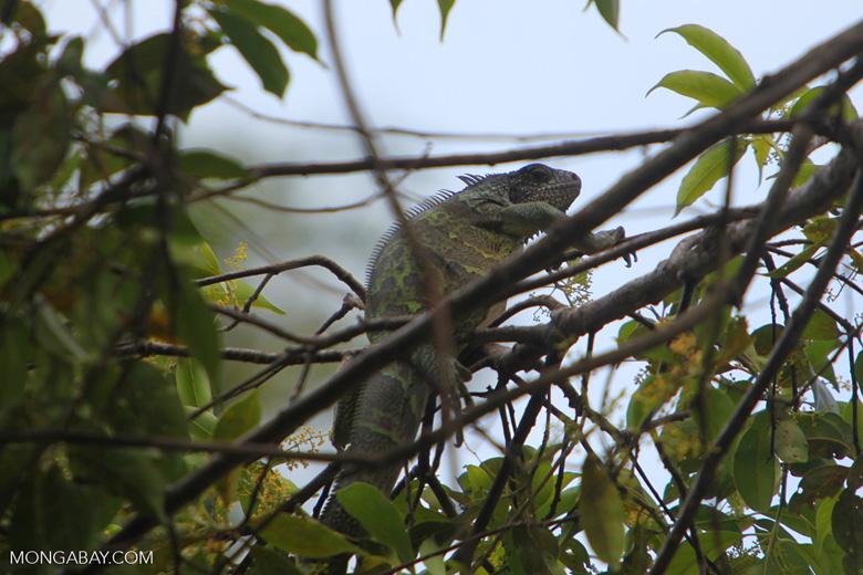 Common green iguana [colombia_5166]