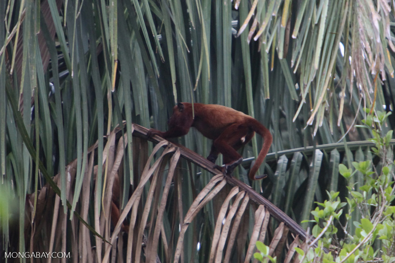 Red howler monkey [colombia_5175]