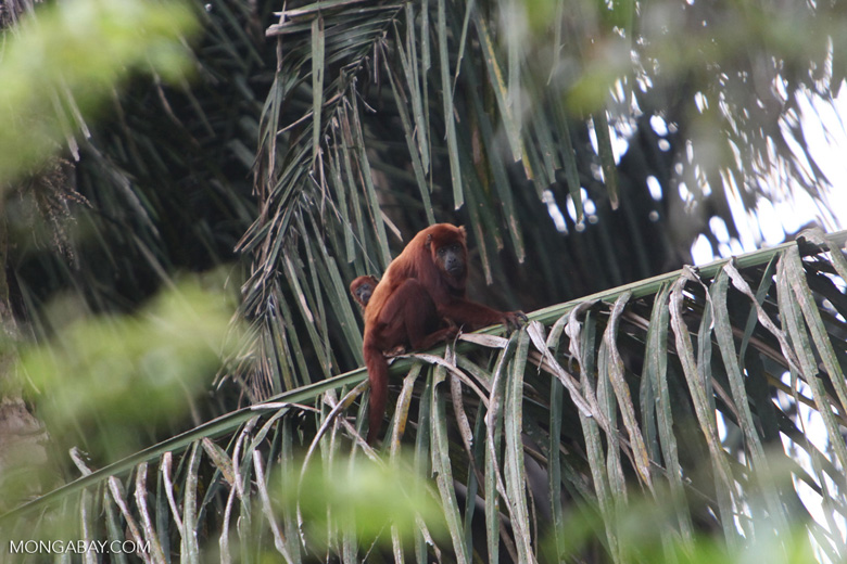 Red howler monkey [colombia_5209]