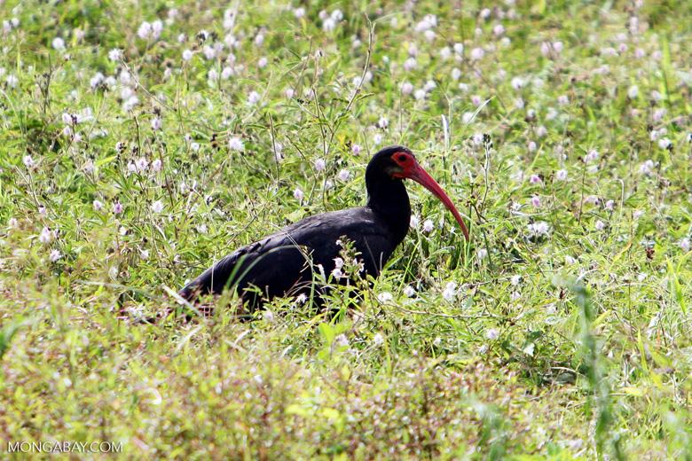 Sharp-tailed Ibis (Cercibis oxycerca)