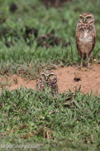 Burrowing Owl (Athene cunicularia) [colombia_5263]