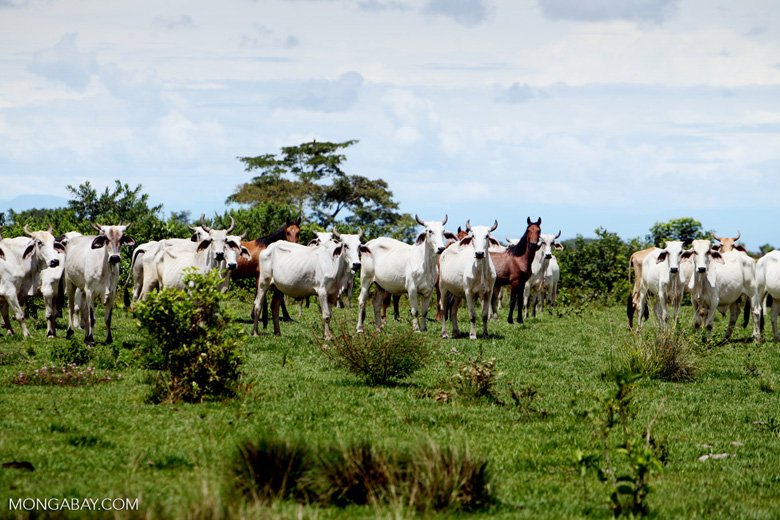 Cattle [colombia_5273]