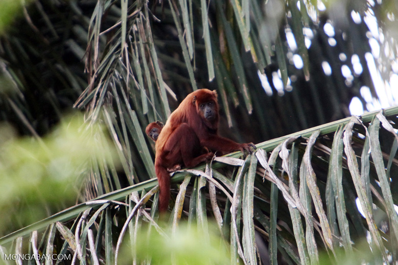 Red howler monkey [colombia_5293]