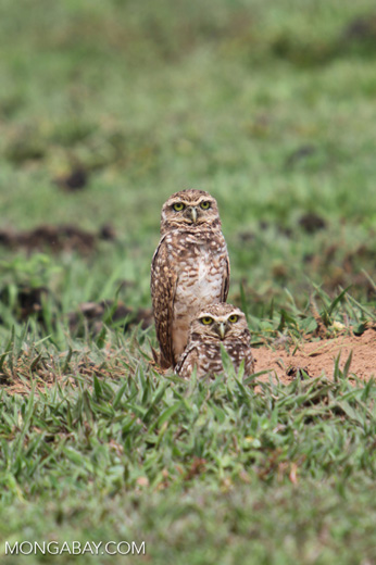 Burrowing Owl (Athene cunicularia) [colombia_5330]