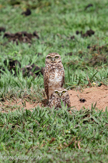 Burrowing Owl (Athene cunicularia) [colombia_5344]