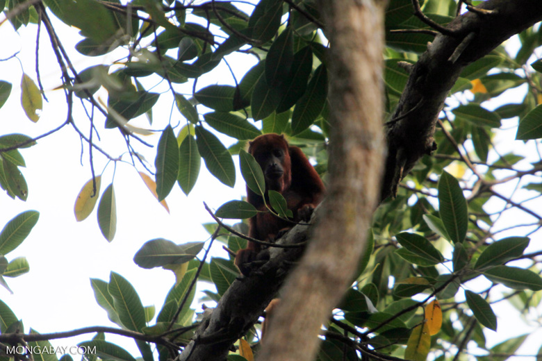 Red howler monkey [colombia_5365]