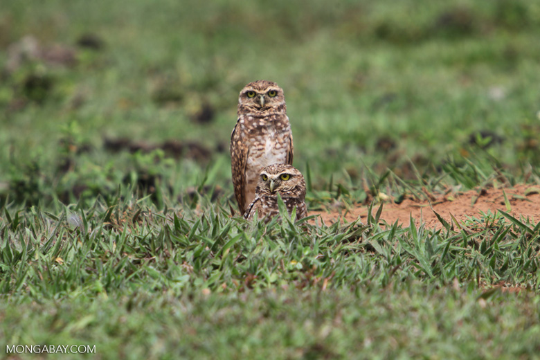 Burrowing Owl (Athene cunicularia) [colombia_5368]