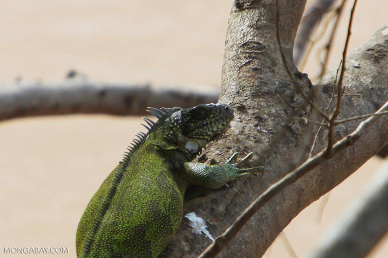 Common green iguana [colombia_5400]