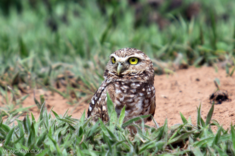 Burrowing Owl (Athene cunicularia) [colombia_5403]