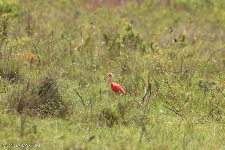 Scarlet ibis [colombia_5419]
