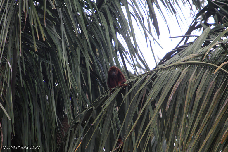 Red howler monkey [colombia_5424]