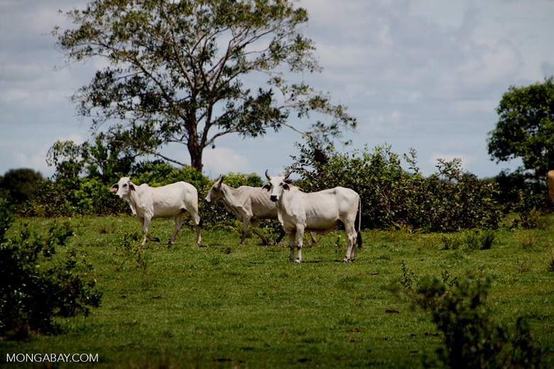 Cattle [colombia_5445]