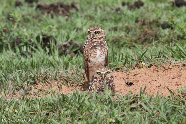 Burrowing Owl (Athene cunicularia) [colombia_5457]