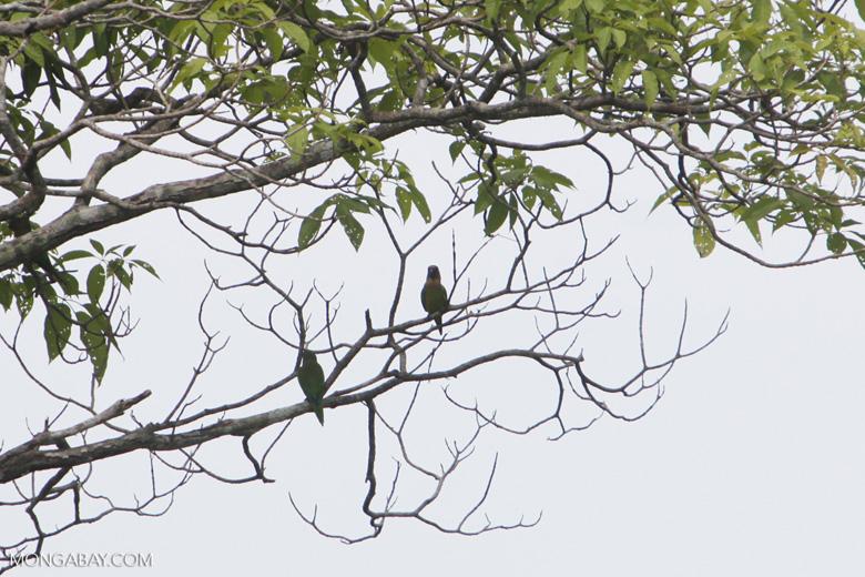 Parrots [colombia_5461]