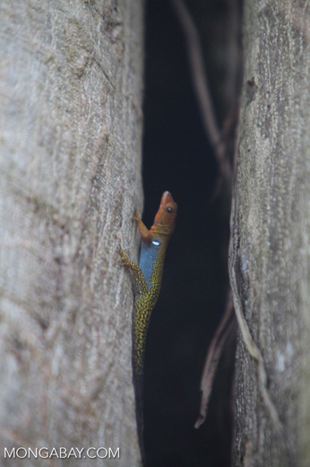 Orange, blue, and yellow lizard [colombia_5465]