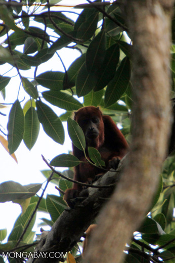 Red howler monkey [colombia_5481]