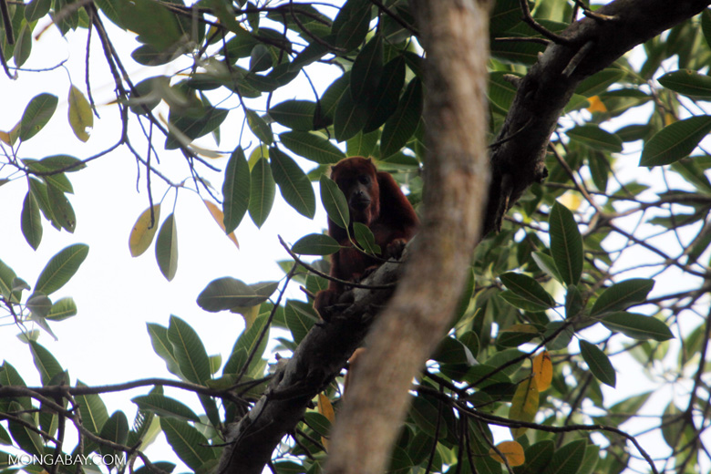 Red howler monkey [colombia_5482]