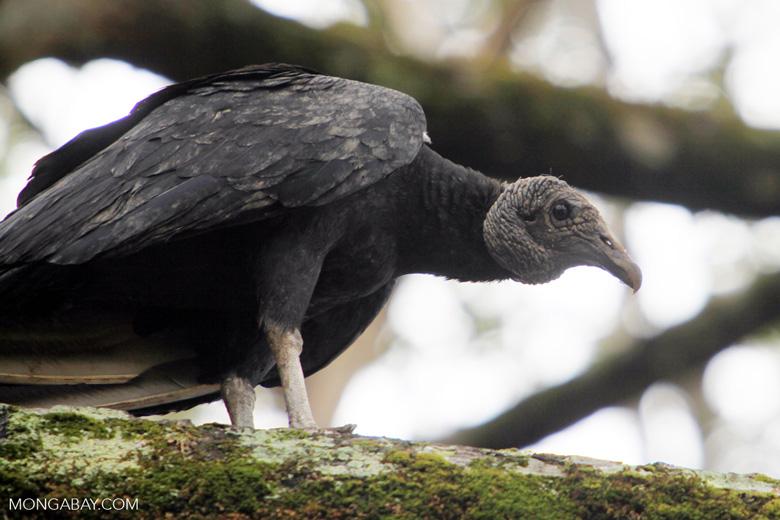 Black vulture [colombia_5535]