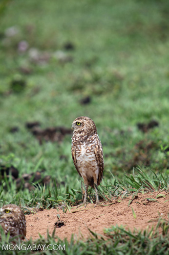 Burrowing Owl (Athene cunicularia) [colombia_5536]