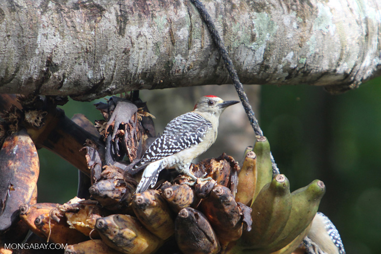 Melanerpes Woodpecker [colombia_5574]