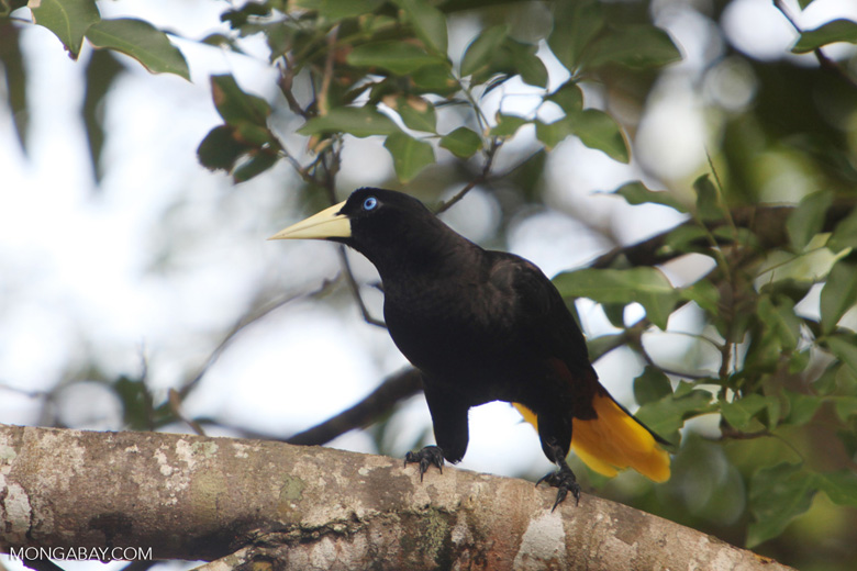 Yellow-rumped cacique [colombia_5598]