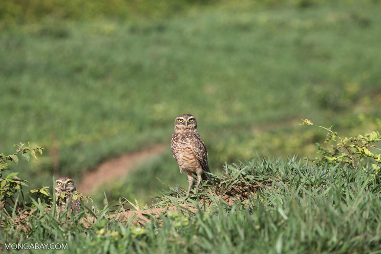 Burrowing Owl (Athene cunicularia) [colombia_5621]
