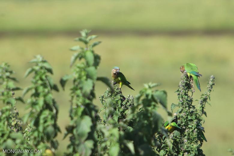 Brown-throated Parakeets (Aratinga pertinax) [colombia_5654]
