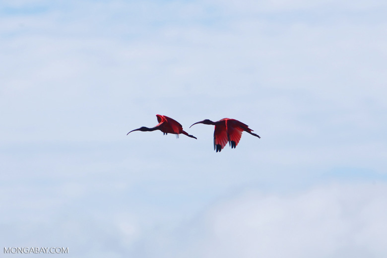 Scarlet ibis [colombia_5697]