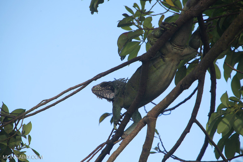 Common green iguana [colombia_5729]