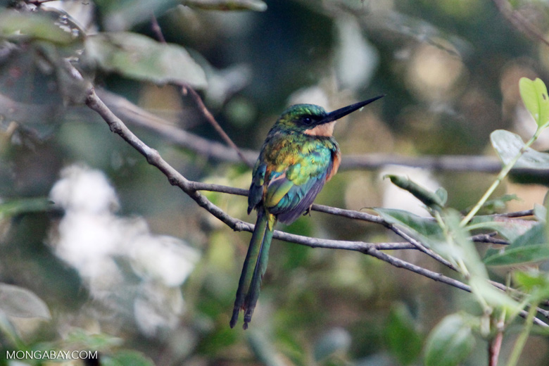 Green-tailed Jacamar [colombia_5793]