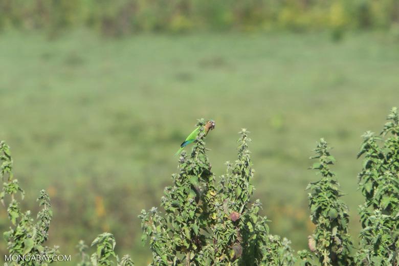 Brown-throated Parakeets (Aratinga pertinax) [colombia_5819]